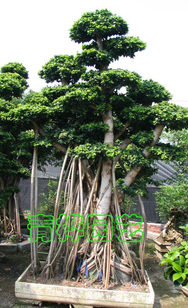 大榕树盆景2