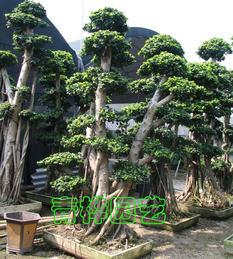 大榕树盆景3