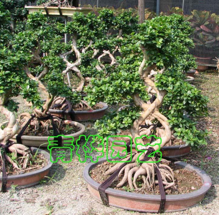 榕树盆景1-广州市青桦花木园艺有限公司