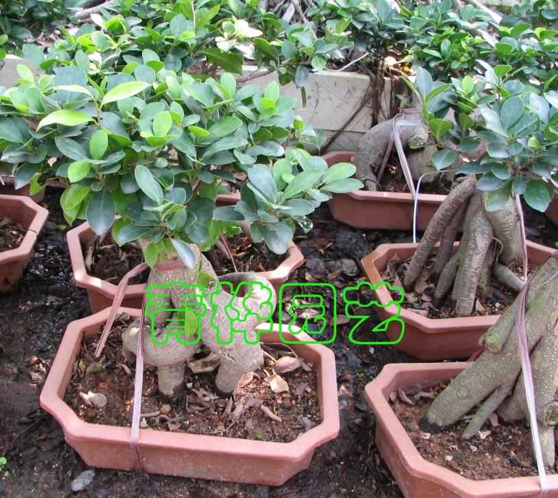 榕树盆景3-广州市青桦花木园艺有限公司