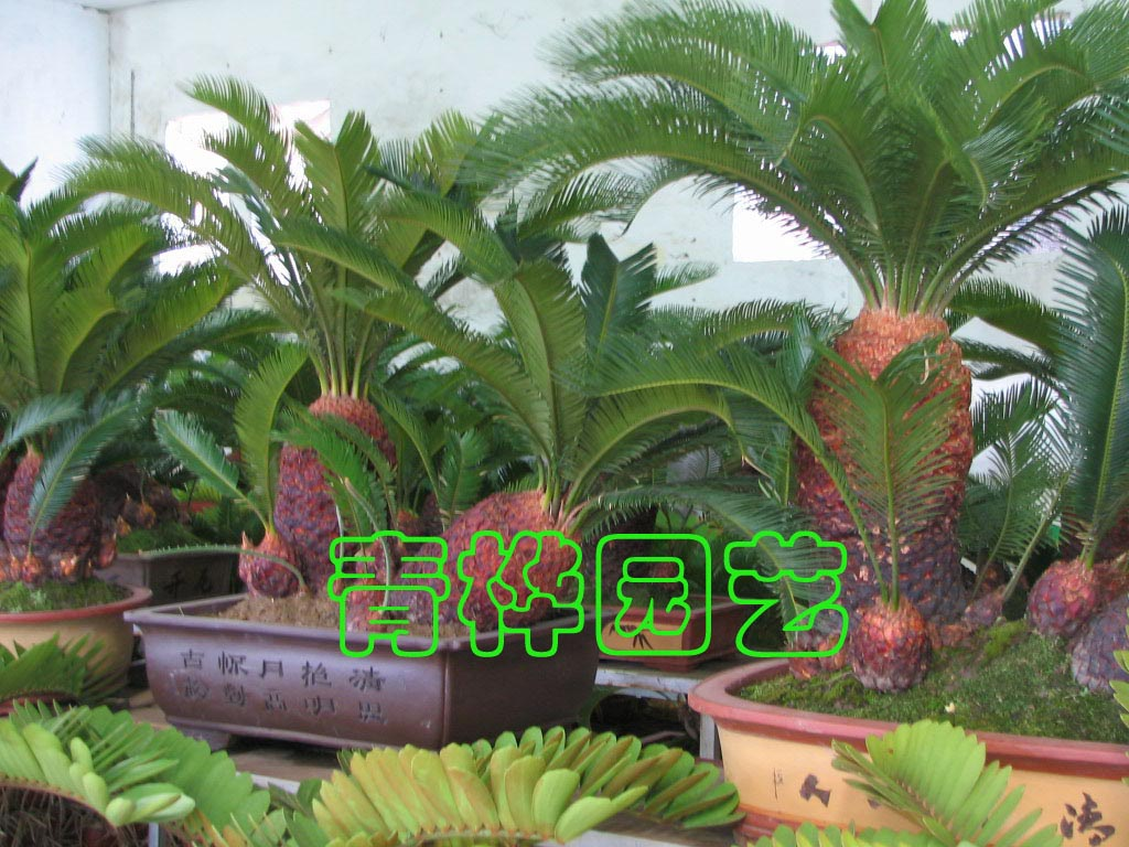 苏铁盆景2-广州市青桦花木园艺有限公司